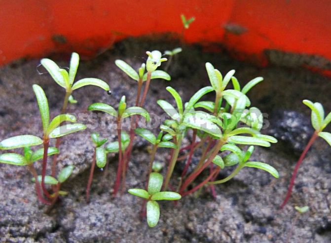 How To Plant And Care For Portulaca