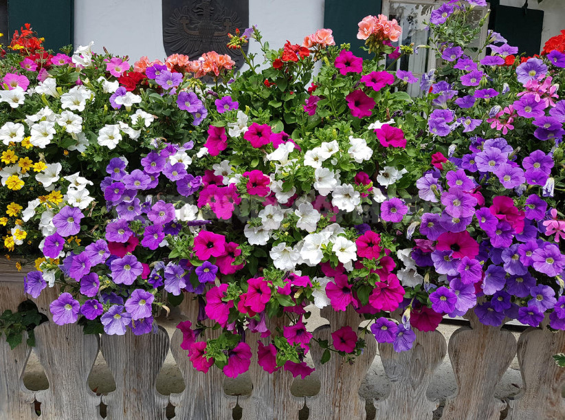 Beauty at height petunias for balconies loggias and terraces 1 - Petunias for Balconies, Loggias and Terraces