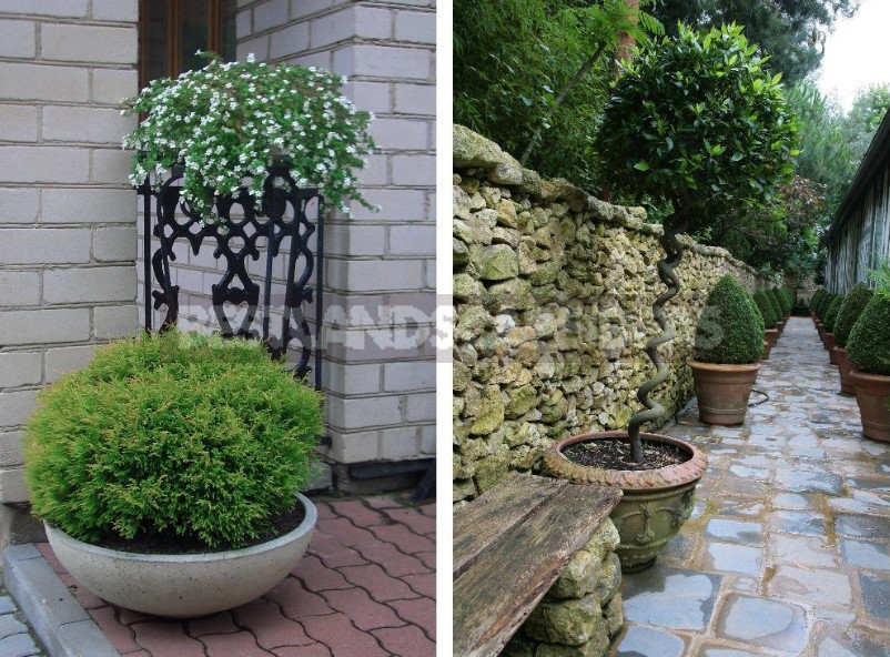 Trees in Containers: What to Grow