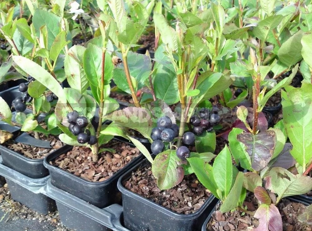 How To Plant And Care For Aronia Melanocarpa