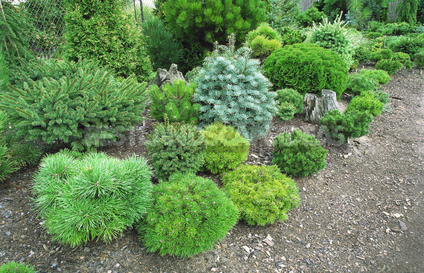 How to choose miniature conifers for your garden 1 - How to Choose Miniature Conifers for Your Garden