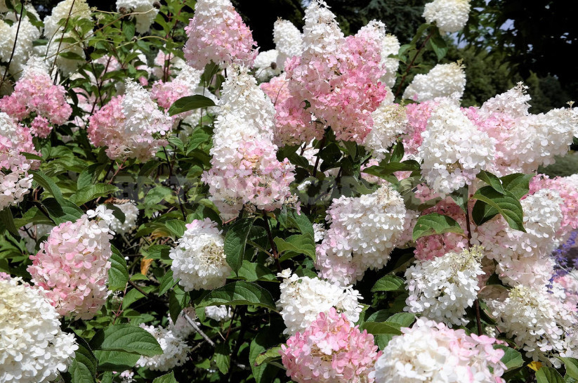 Hydrangea paniculate the best varieties and not only 1 - Hydrangea Paniculate: the Best Varieties and Not Only (Part 2)