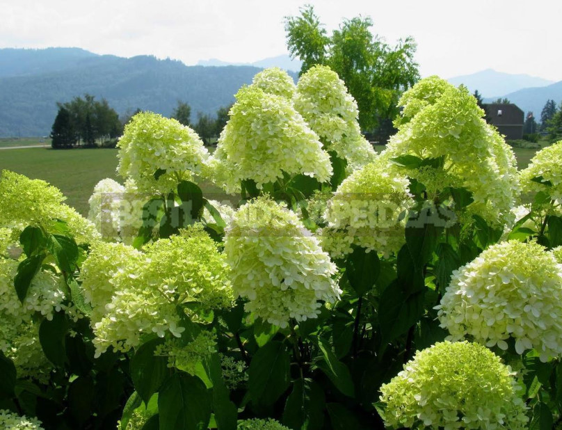 Hydrangea Paniculate: the Best Varieties and Not Only (Part 2)