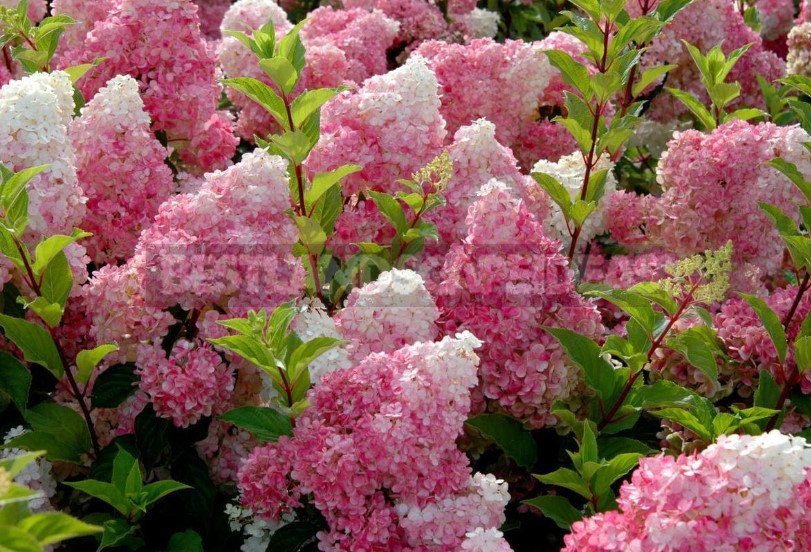 Hydrangea Paniculate: the Best Varieties and Not Only (Part 1)