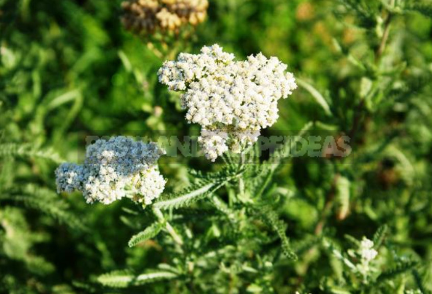 Insecticidal Plants Against Pests. Recipes Infusions and Decoctions.