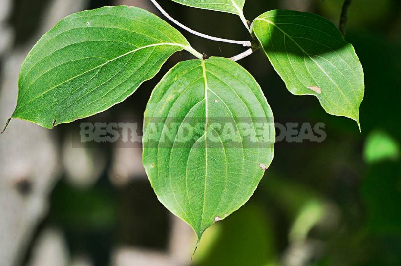 How To Plant And Care For Cornus Mas