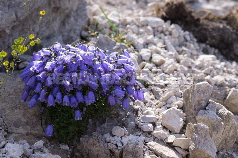 Undersized Perennial Bells: Photos, Species and Varieties, Cultivation
