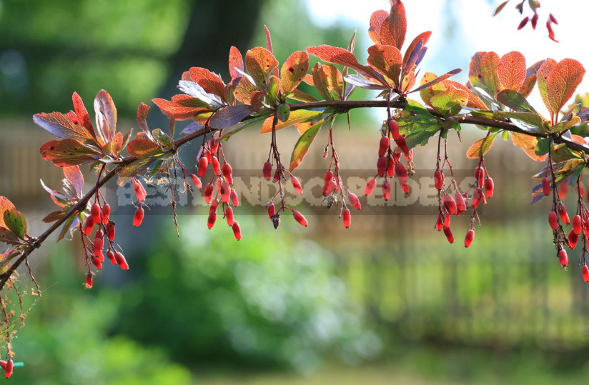 Barberry speciesvarieties photos 1 - Barberry: Species, Varieties, Photos