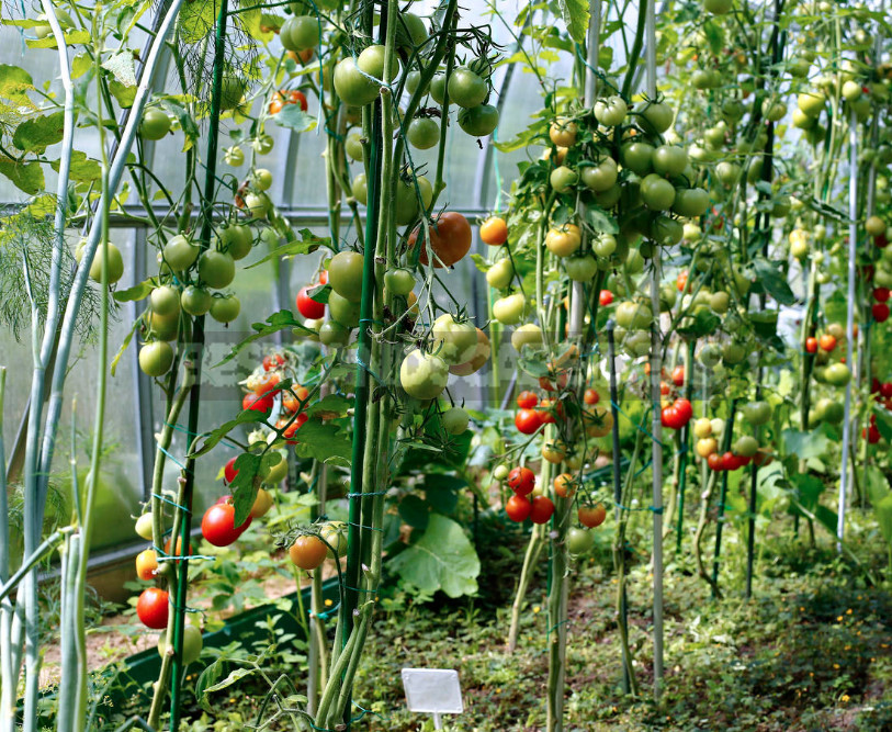 Formation of Tall Tomatoes: Secrets of Taming in the Greenhouse