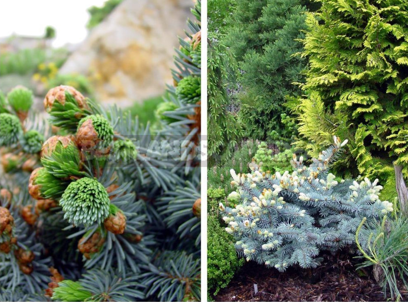 How to Choose Miniature Conifers for Your Garden