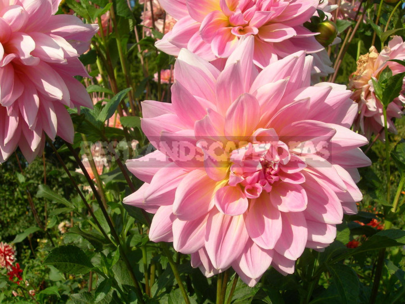 Dahlias: the Nuances of Care and Choice, the Advantages and Disadvantages