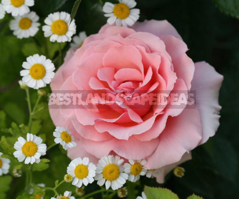 Roses for the romantic garden 1 - Pink Roses in a Romantic Garden Design