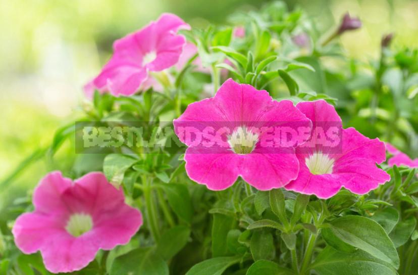 Rules of Fertilizing Petunias