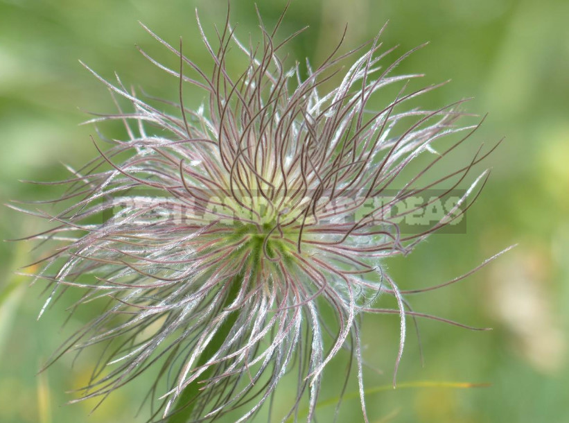 How to Propagate Pulsatilla From Seeds