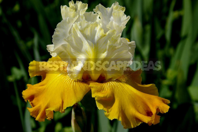 Brighter Than the Rainbow: the Best Multi-Colored Varieties of Irises