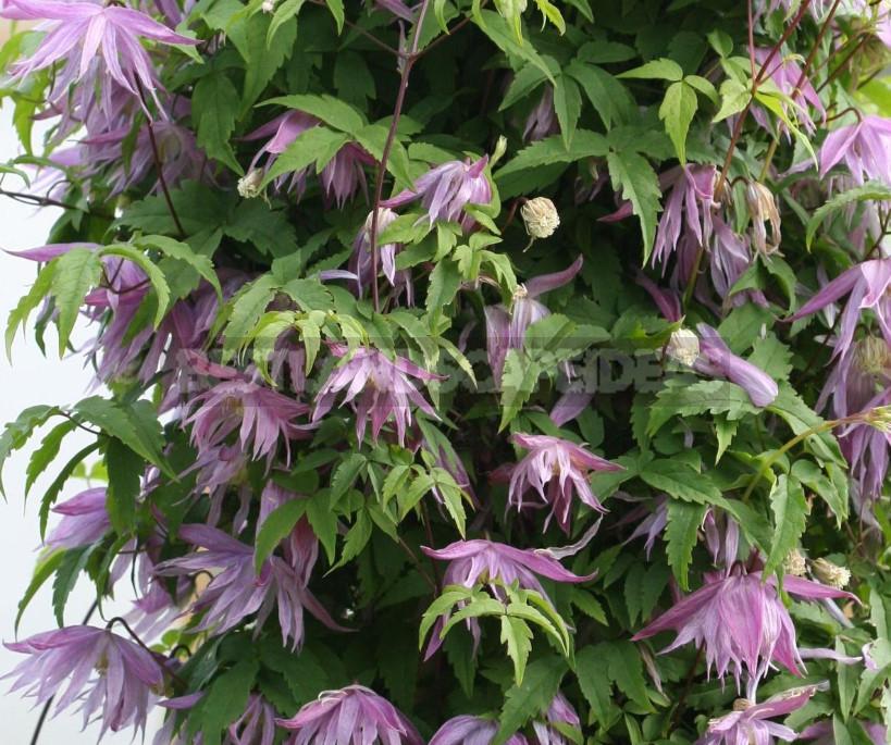 Clematis - King of Vines: Cultivation, Species, Varieties (Part 3)