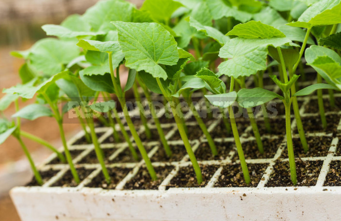 How to Grow Great Cucumbers: How to Care for Seedlings (Part 2)
