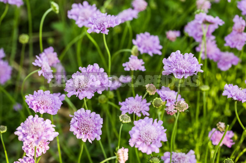 Irreplaceable we do not have twins flower annuals 1 - Plants-Doubles for Cottages: Pairs of Flowers-Annuals