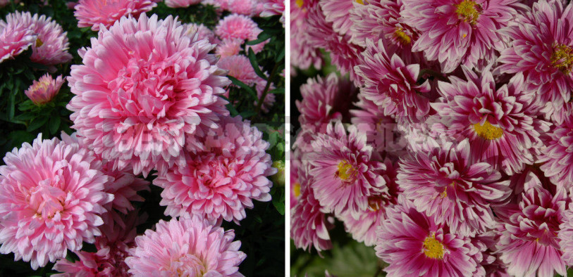 Plants-Doubles for Cottages: Pairs of Flowers-Annuals