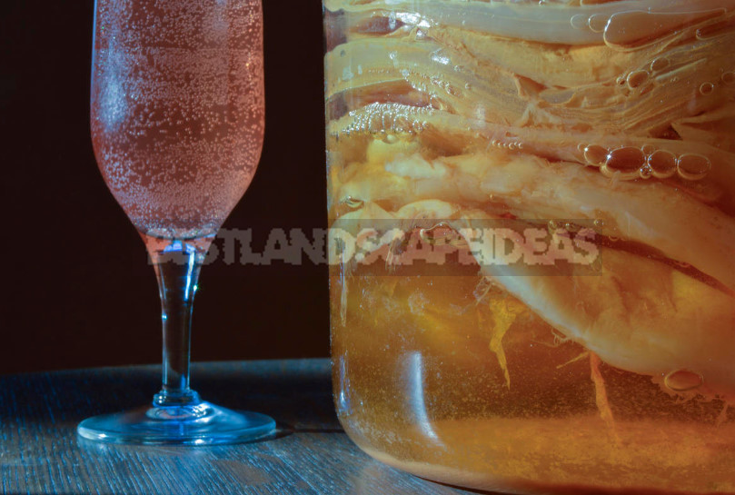 Kombucha carbonated drink panacea or Haute couture clothes 1 - Is Kombucha Useful for Health?