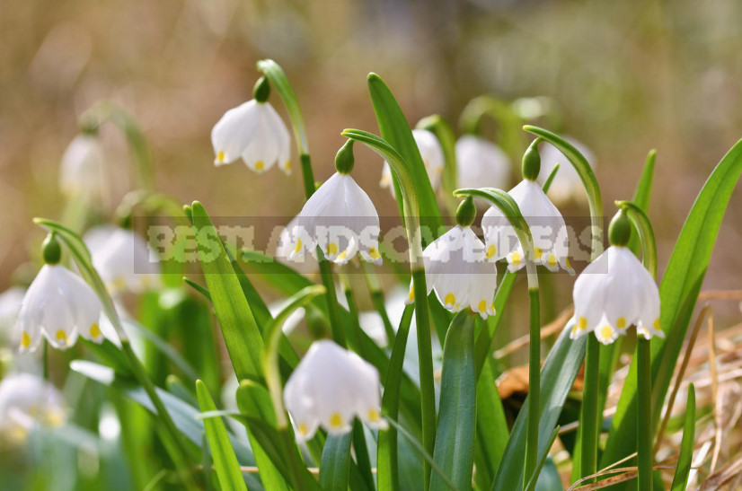 Leucojum not to be confused with snowdrops. Secrets of cultivation and species 1 - Leucojum: Views, Description, Photos. Planting and Reproduction.