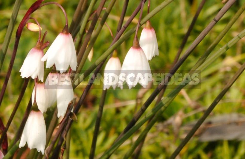 Leucojum: Views, Description, Photos. Planting and Reproduction.