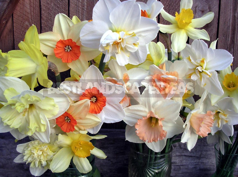 Narcissuses. Varieties worthy of awards 1 - Narcissuses. Varieties, Worthy of Awards.