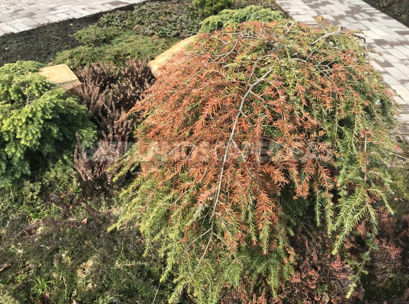 Resuscitate conifers after sunburn 1 - Resuscitate Conifers After Sunburn