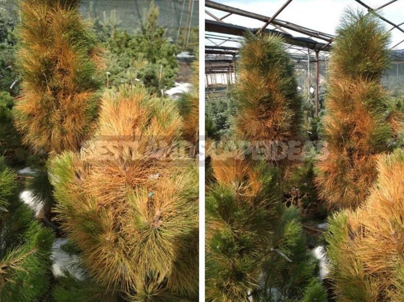 Resuscitate Conifers After Sunburn