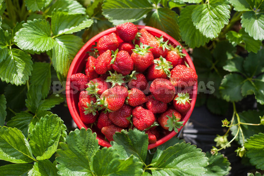 Strawberry garden the right care to increase productivity 1 - Garden Strawberry: the Right Care to Increase Productivity