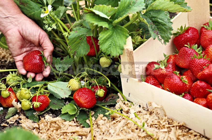 Garden Strawberry: the Right Care to Increase Productivity