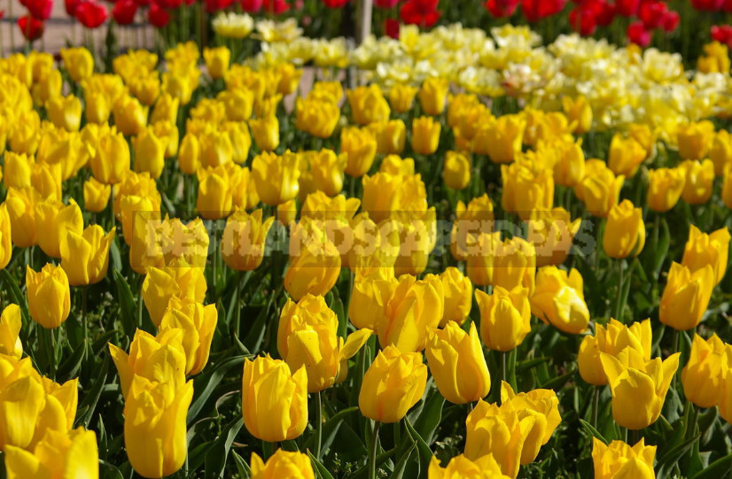 The mystery of the yellow tulips. Why are they so loved by designers and gardeners 1 - The mystery of the yellow tulips. Why are they so Loved by Designers and Gardeners?