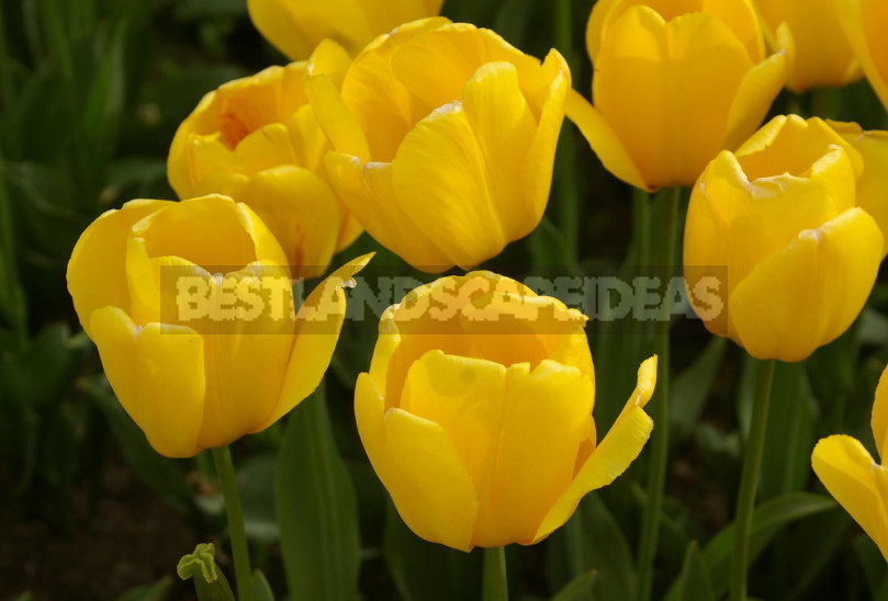 The mystery of the yellow tulips. Why are they so Loved by Designers and Gardeners?