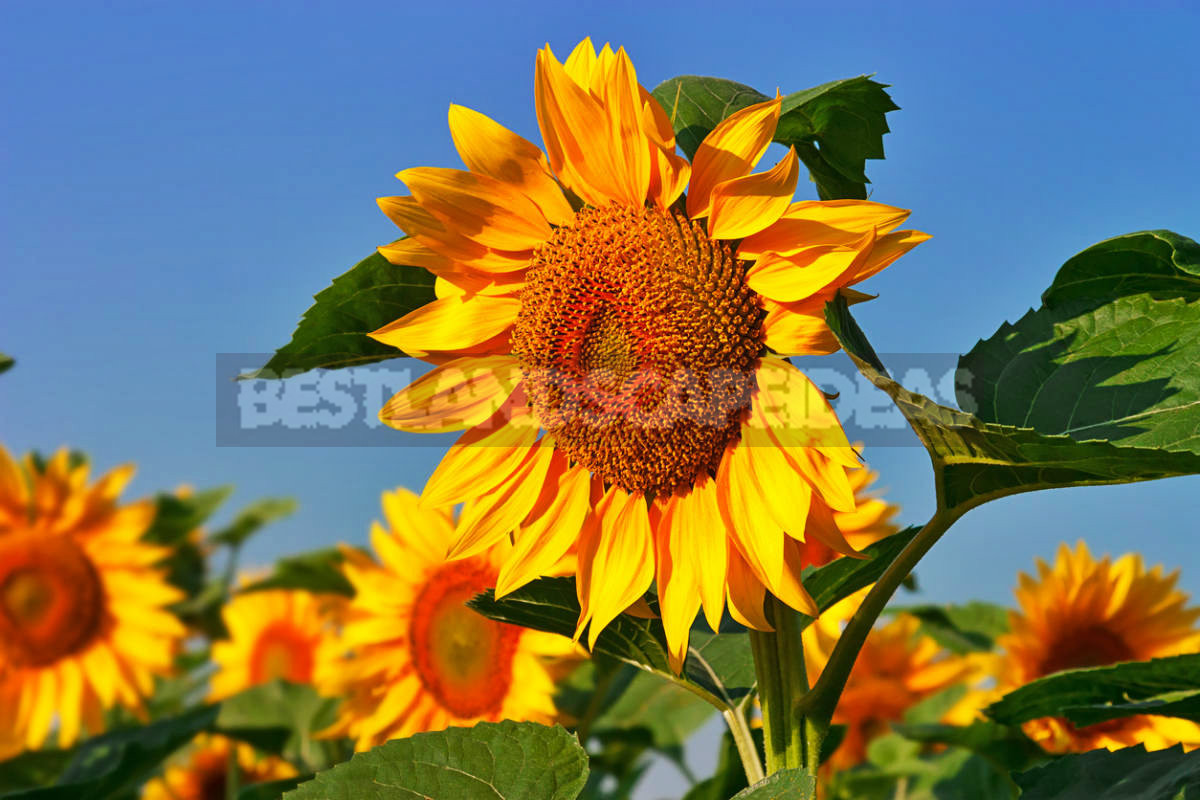 1 1 - How To Plant And Care For Sunflower