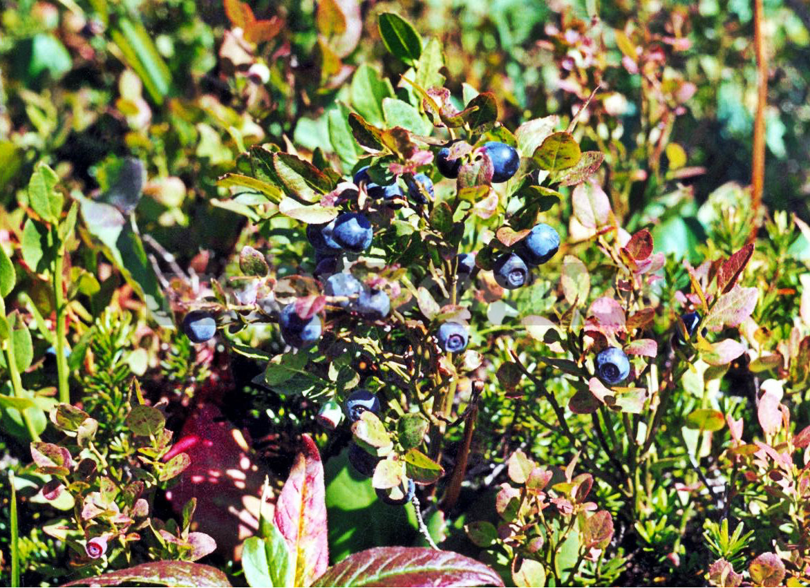1 3 - How To Plant And Care For Blueberry
