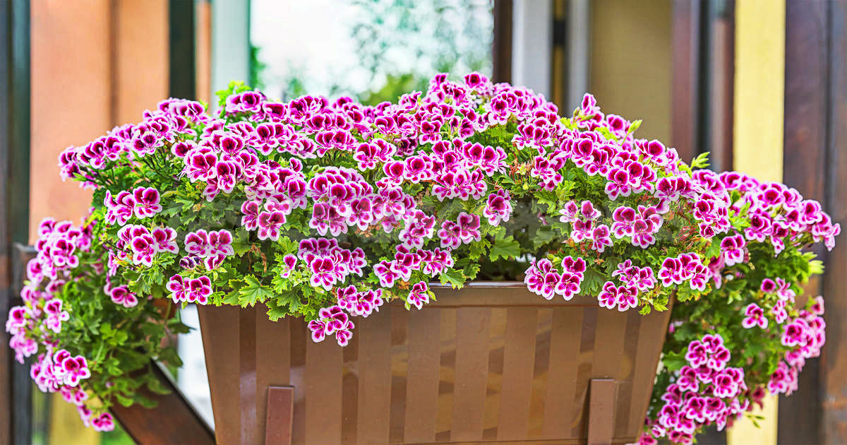 1 6 - How To Plant And Care For Pelargonium