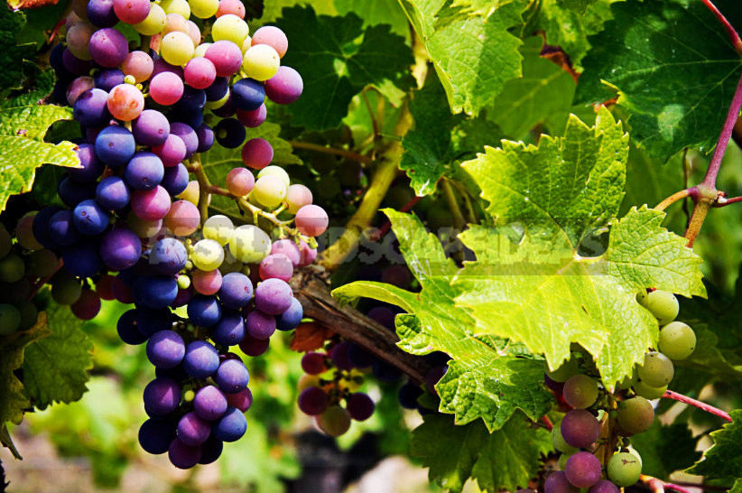 1 - Grapes are the Berry of Life