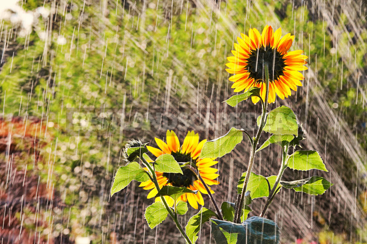 How To Plant And Care For Sunflower