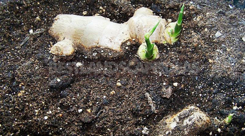 How To Plant And Care For Ginger