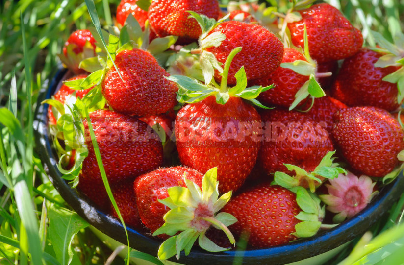 5 fertilizing for strawberries garden and the harvest is guaranteed 1 - 5 Fertilizing for Strawberries Garden - And the Harvest is Guaranteed
