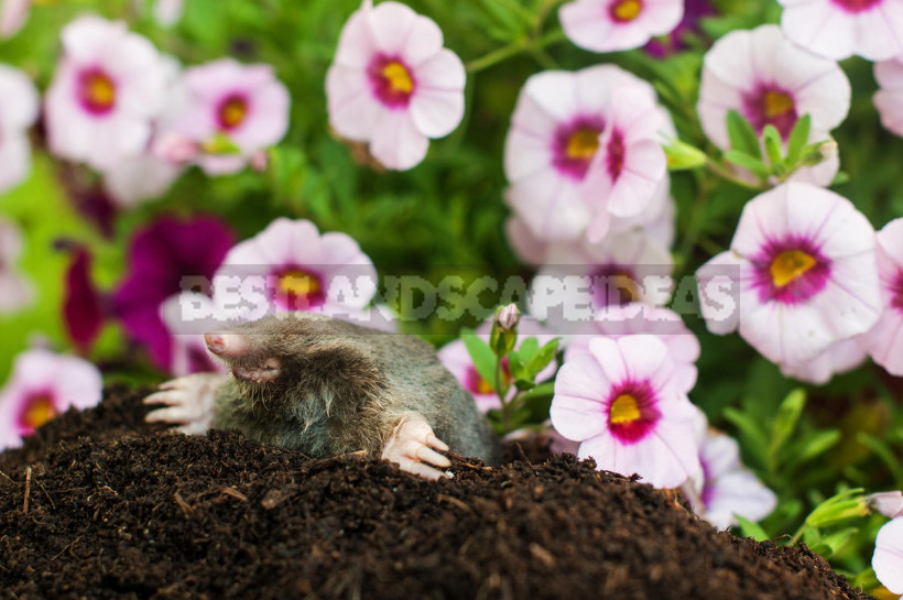 How to Get Rid of Moles: From Absurd to Really Useful Ways (Part 2)
