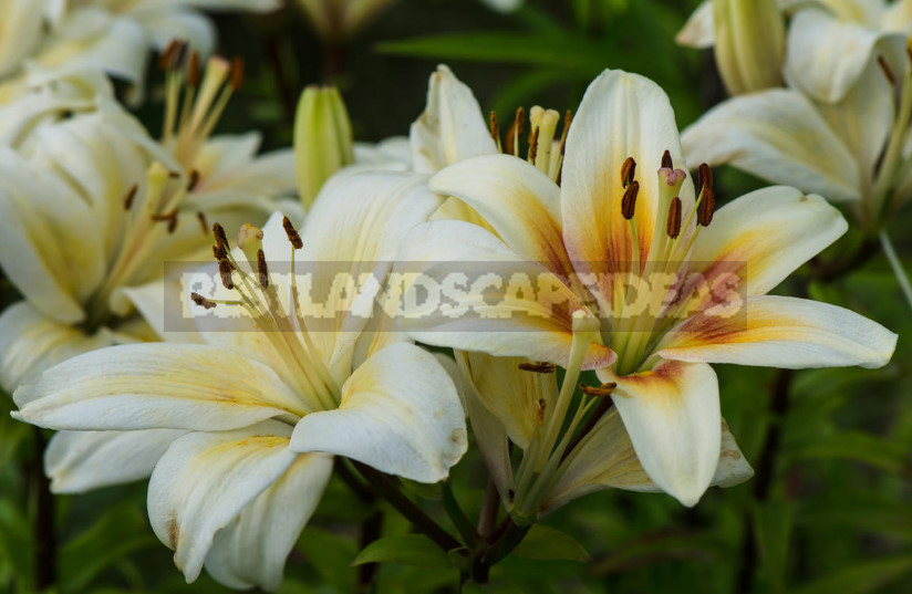 Lilies choose the right variety and prepare for landing 1 - Lilies: Choose the Right Variety and Prepare for Landing (Part 2)