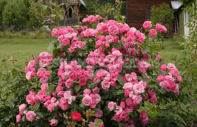 Roses of Cordes simplicity and reliability 1 - Roses of Kordes: Simplicity And Reliability