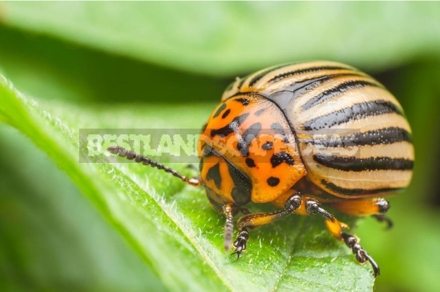 Colorado Potato Beetle: History, Control and Prevention