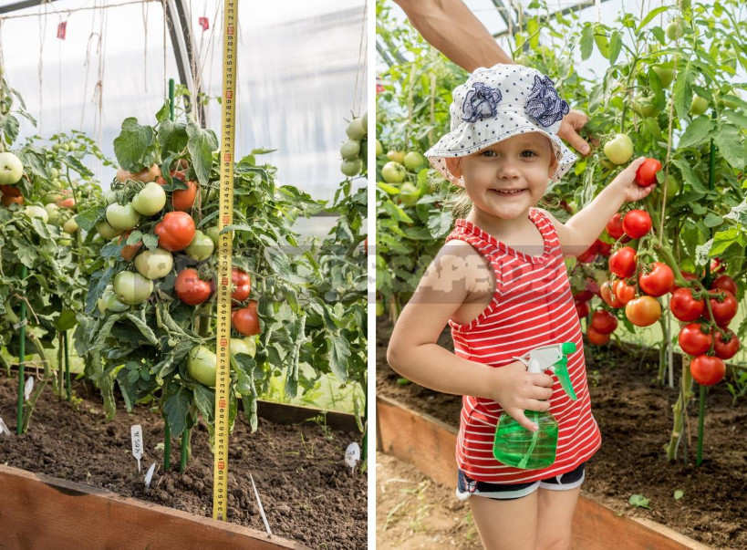 The Intricacies of Determinate Tomatoes in Open Ground