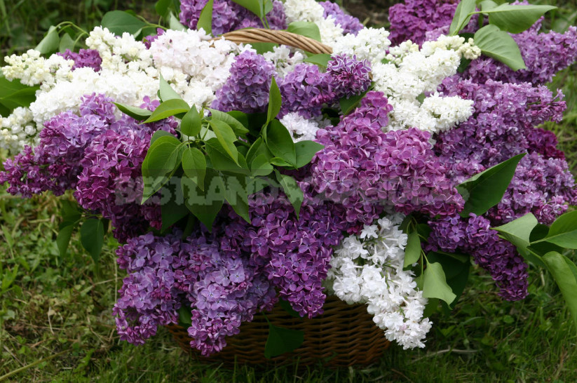 What is the most beautiful lilac 1 - What is the Most Beautiful Lilac?