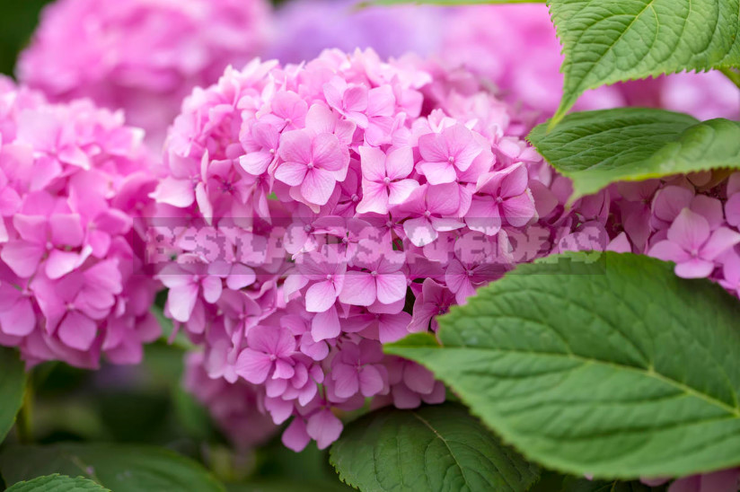 Winter hardy hydrangeas large leaved 1 - Hydrangeas Large-Leaved: Remontant Varieties
