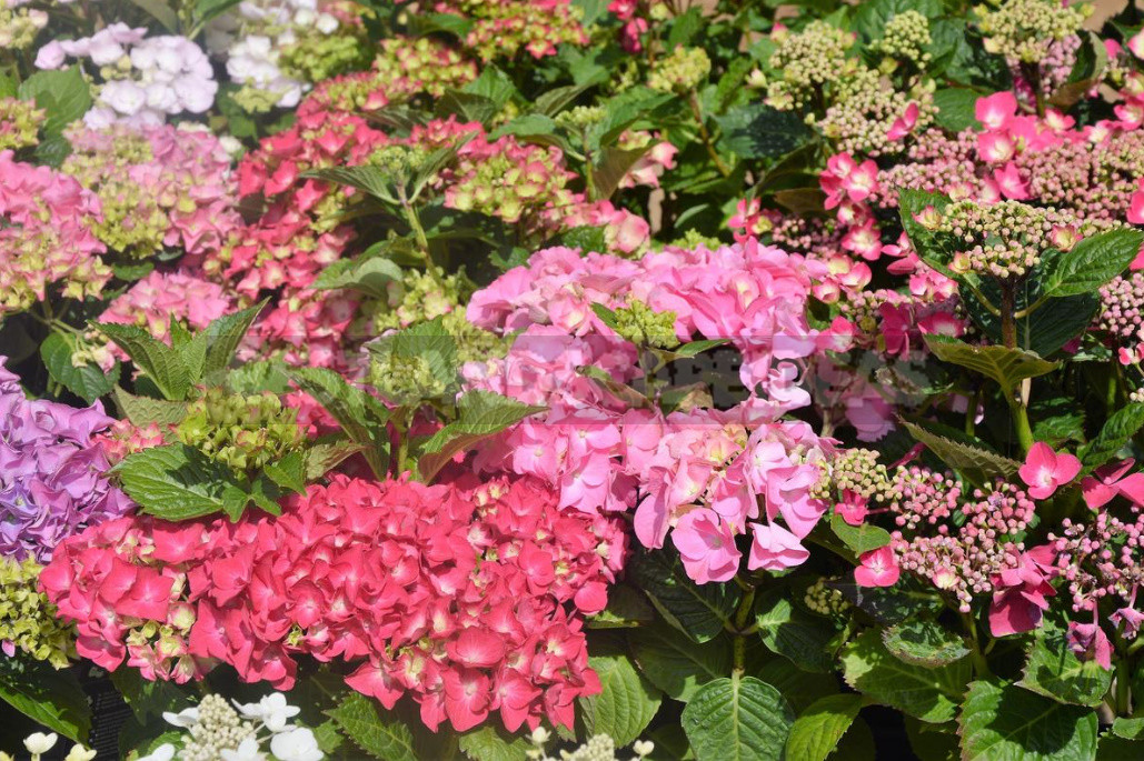 Care of Hydrangea macrophilla Calendar of Works 1 - Care of Hydrangea macrophilla: Calendar of Works