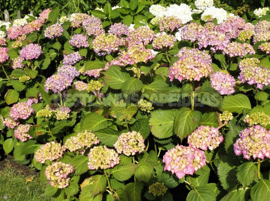 Care of Hydrangea macrophilla: Calendar of Works