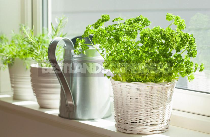 Create a kitchen garden. Secrets of growing dill and parsley in pots 1 - Create a Kitchen Garden. Secrets of Growing Dill and Parsley in Pots.